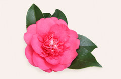 The Camellia flower with its vibrant colors.