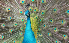 The mighty peacock impresses with his beautiful green and blue colors